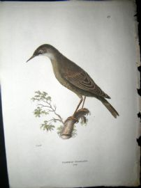 Shaw C1800's Antique Hand Col Bird Print. Common Starling